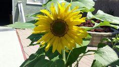 Sara sunflower