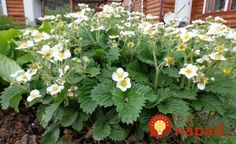 Toto poraďte každému záhradkárovi: O takej úrode jahôd sa vám ani nesnívalo! Outdoor, Plants, Berries, Landscape, Flowers, Outdoor Gardens, Growing, Garden Landscaping, Garden