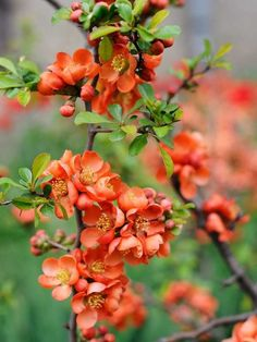 Chaenomeles Shade Plant Hardy, shade plants and flowers bring beautiful blooms even to those parts of your backyard that receive little light. Read on for a list of plants that don't need sun to grow. Full Shade Plants, Shade Loving Shrubs, Shade Garden Plants, Garden Shrubs, Cool Plants, Flowering Plants, Climbing Shade Plants, Full Shade Flowers, Perfect Plants