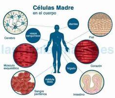lugares en donde se pueden encontrar celulas madre