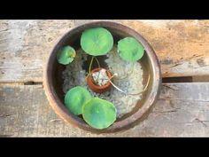 lotus plant potting l mini pot l gold fish - YouTube