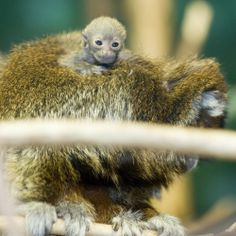Baby Titi monkey hanging out with dad.
