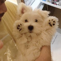 "3,174 Likes, 45 Comments - Yogurt Bear (@yogurt_westie) on Instagram: ""I surrender to boiled chicken -------------------------------------- Papa promise me if i have…"""