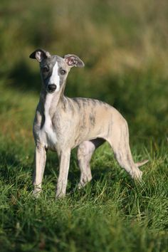 Whippet pup - adopted Tiger willy from a family that could no longer keep him, Sweet, playful and got along with everybody!