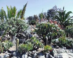 Assorted cycads and succulents.  This is a good representation of an interesting, low water garden.