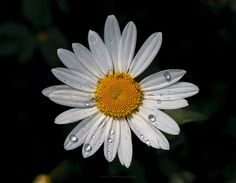 Mrs Daisy dancing in the rain by Maurizio Di Renzo on Dancing In The Rain, Daisy, Flora, Places To Visit, Plants, Garden, Collection, Garten, Margarita Flower