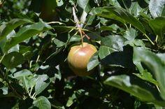Mela, coltivazione in Val Venosta