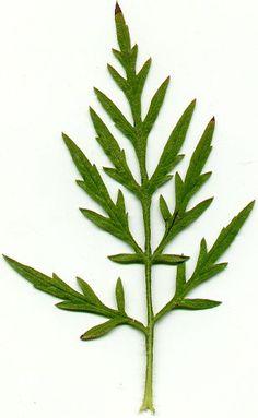 Ragweed (ambrosia artemisifolia) leaf