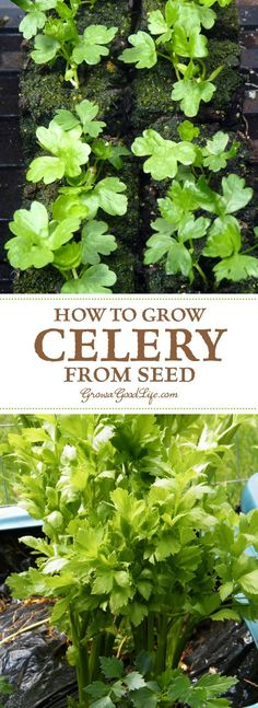 Growing celery from seed can be a challenge. Celery has a long growing season and takes a while to develop when sowing from seed. Here are some tips on how to start celery plants from seed and using self-watering containers to maintain the moisture levels Self Watering Containers, Self Watering Planter, Organic Vegetables, Growing Vegetables, Gardening Vegetables, Organic Plants, Celery Plant, Pot Jardin, Aquaponics