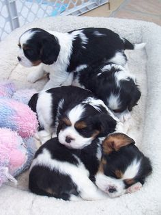 Tri-color Cavalier King Charles Spaniels ready for adoption February 5th! Call 608-835-2094 or email chris_jim@charter.net