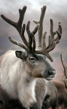 "This was pinned as ""deer"", what the hell? I see this all the time calling CARIBOU, or ELK, deer? I or even moose I seen the other day labeled, ""mule deer"". Amazing Animals, Animals Beautiful, Nature Animals, Animals And Pets, Wild Animals, Nature Nature, Mother Nature, Vida Animal, Photo Animaliere"