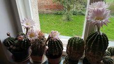 Jaxine Cactus Plants, Cacti, Cactus