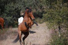 Bay Lusitano stallion Spartacus in Portugal