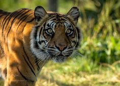Tiger by colinlangford1 #animals #animal #pet #pets #animales #animallovers #photooftheday #amazing #picoftheday