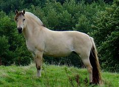 """Fjord Horse.  """" This horse is a primitive breed still having the dorsal stripe down it's back from the head to the tail.  The mane is cut short so it will """"bristle"""" in the traditional look."""