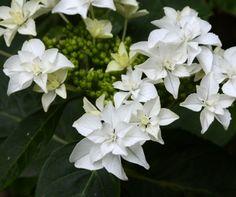 Hydrangea serrata 'Tokyo Star'