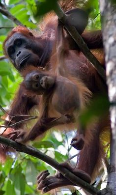 Culture in humans and apes has the same evolutionary roots, researchers show