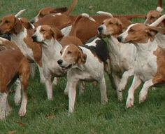 American Fox Hound dog photo | American Foxhound|Dogs|Puppies|Dog Breeds|Pets|Dog Pictures