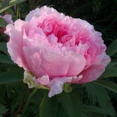 Peonie : potatura e manutenzione Peony Flower, Flowers, Comment Planter, Plantation, Outdoor Plants, Gardening Tips, Peonies, Bouquet, Minute