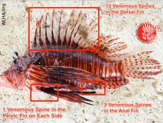 Location and number of venomous spines on a lionfish. Beware these 18 very dangerous spines!