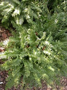 Christmas fern for dry shade