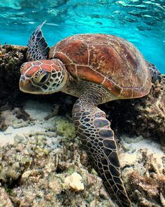 Reino Animal, Filo Chordata, Classe Réptil animals 6 Differences Between Turtles and Tortoises Baby Sea Turtles, Cute Turtles, Turtle Baby, Beautiful Sea Creatures, Animals Beautiful, Cute Baby Animals, Animals And Pets, Animals Sea, Sea Turtle Pictures