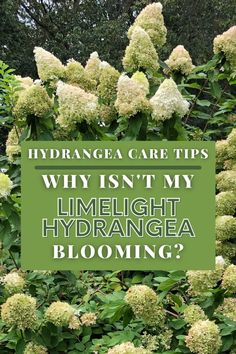 Why isn't my limelight hydrangea blooming is a common question I get each year from gardeners . This video will tell you a few reasons why your limelight hydrangea is not blooming and some hydrangeas care tips to help your hydrangeas bloom Hydrangea Bloom, Limelight Hydrangea, Hydrangea Care, Hydrangeas, Herbs, Tips, Herb, Hydrangea Macrophylla, Counseling