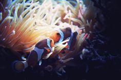 Clownfish