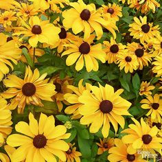Black-eyed Susan - Easy to grow Perennial