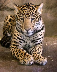Tikal the Jaguar Cub at 7.5 months old at San Diego Zoo by Penny Hyde Photography