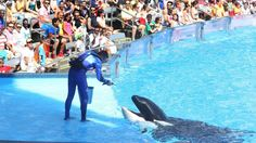 SeaWorld names their new CEO-as their attendance continues to decline  http://www.forbes.com/sites/laurengensler/2015/03/19/seaworld-new-ceo-attendance-declines/