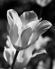 Tulip Black and White 8x10 Photograph by SolsticePhoto on Etsy, $20.00