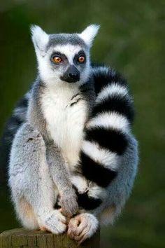 Lemurien, symbole de Madagascar!!!! Tout mignon!!!