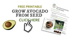 If you've been trying to root avocado seeds by suspending them over a glass of water with toothpicks, there is an easier way. Make use of all those avocado pits and grow free houseplants. Growing Vegetables, Growing Plants, Container Plants, Container Gardening, Avocado Plant From Seed, Cannabis, Growing An Avocado Tree, Strawberry Plants, Growing Seeds