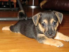 Black Jack Russell Terrier Puppies Dog Photos