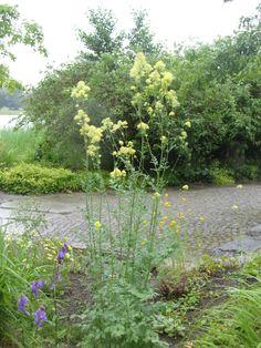 Gelbe Wiesenraute (Thalictrum flavum)