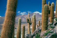 Photos of different habitats and species of cactus of the Atacama Desert. Includes coastal desert of Taltal and cacti of the interior mountains of Chile. Cacti And Succulents, Cactus Plants, Desert Pictures, Weird Trees, Desert Cactus, Agaves, Cactus Y Suculentas, You're Awesome, Dream Garden