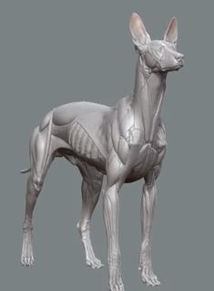 Turntable of the Pharaoh Hound écorché study, with a focus on medical accuracy. Dog Anatomy, Animal Anatomy, Anatomy Drawing, Anatomy Art, Anatomy Sculpture, Dog Sculpture, Sculptures, Cartoon Drawings, Animal Drawings