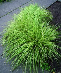 / / Carex / / Graminées / / Vivaces / /