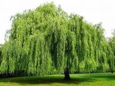 Great article about Willows, bush and tree. Also details about using willow for a rooting hormone and other great uses.