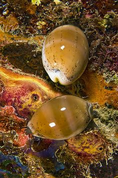 On the wreck of the Balboa was this pair of Annette's Cowries on an inner wall.