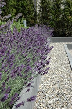 pale grey stone and gravel with lavender - Moderne Tuinen - Strak en Modern Tuinontwerp