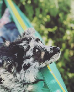 In the hammock with my German Aussie Shepard! http://ift.tt/2sD9EOQ