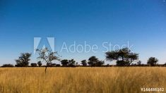 Stock Footage of Static timelapse of a moonlit landscape in the South African Savanna Bushveld, Kalahari desert with lots of Acacia trees and tall grass. Explore similar videos at Adobe Stock Milky Way, Acacia, Stock Video, Stock Footage, South Africa, Adobe, Grass, Deserts, Southern