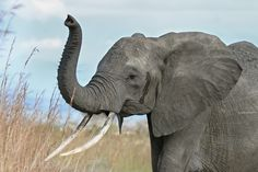 Why are #elephants being murdered in this way? This is so sad. http://www.cbsnews.com/news/zimbabwe-22-new-elephants-killed-with-cyanide/