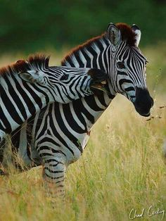 Did you know that one herd of zebras migrates more than 300 miles across Namibia and Botswana ?