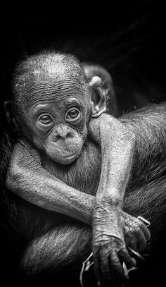 The Beginning by Philipp Birmes chimpanzee Primates, Nature Animals, Animals And Pets, Beautiful Creatures, Animals Beautiful, Cute Baby Animals, Funny Animals, Cute Monkey, Monkey Baby