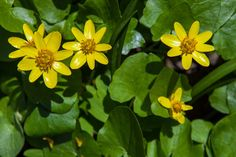 Primrose yellow flowers in spring forest;