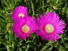 flowers native to spain | Hottentot Fig or Carpobrotus Edulis