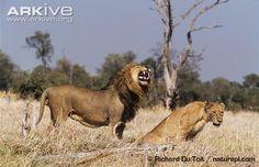 African lion exhibiting flehmen behaviour towards female - View amazing Lion photos - Panthera leo - on Arkive Lion Book, Lions Photos, Big Cats, African, Female